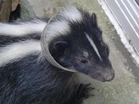 Skunk in window well 2