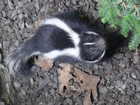 Skunk in window well 4