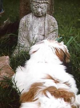 Willy the dog lying in front of a sitting buddha statue in a garden